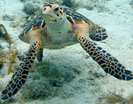 Images of Hawksbill Sea Turtle