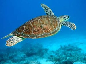 Photos of Hawksbill Sea Turtle