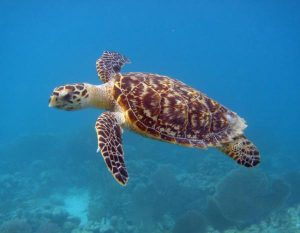 Pictures of Hawksbill Sea Turtle
