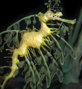Leafy Seadragon Picture