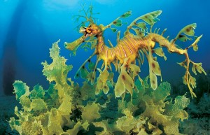 Photos of Leafy Seadragon