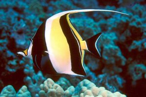 Moorish Idol Picture