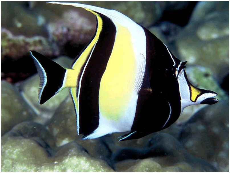 Images of Moorish Idol