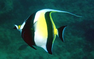 Photos of Moorish Idol
