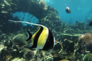 Pictures of Moorish Idol