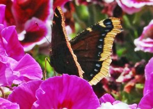 Mourning Cloak Butterfly Image