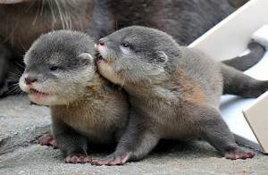 North American River Otter Pups Picture