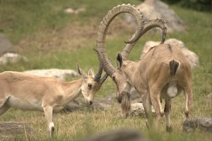 Images of Nubian Ibex