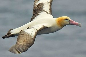 Short-tailed Albatross Flying Image