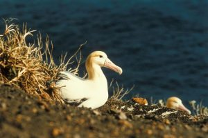 Images of Short-tailed Albatross