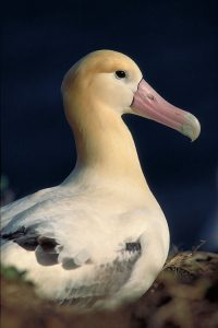Photos of Short-tailed Albatross
