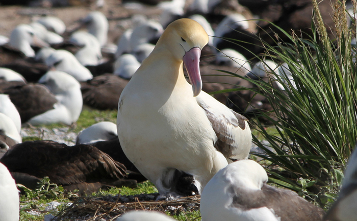 Pictures of Short-tailed Albatross