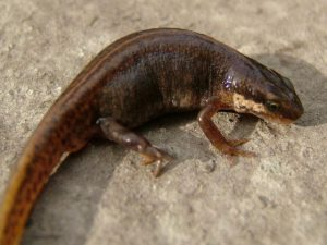 Smooth Newt Picture