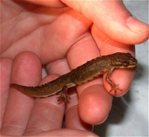 Images of Smooth Newt