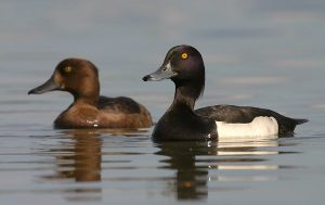 Tufted Duck Picture