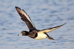 Tufted Duck Flying Image