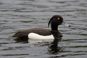 Photos of Tufted Duck