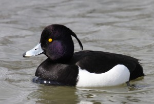 Pictures of Tufted Duck