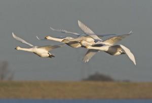 Whooper Swan Flying Image