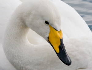 Images of Whooper Swan