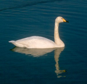 Photos of Whooper Swan