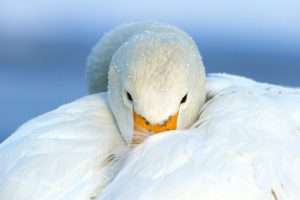 Pictures of Whooper Swan