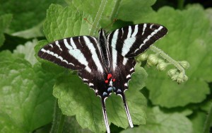 Zebra Swallowtail Butterfly Picture