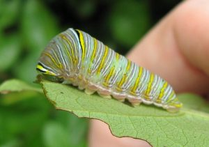 Zebra Swallowtail Butterfly Caterpillar Image