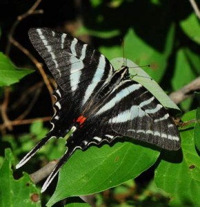 Images of Zebra Swallowtail Butterfly