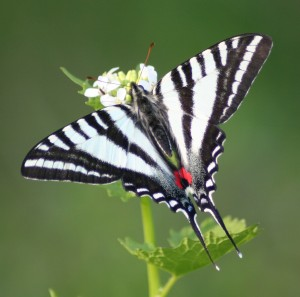 Photos of Zebra Swallowtail Butterfly