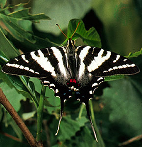 Pictures of Zebra Swallowtail Butterfly