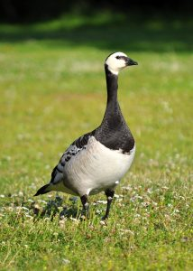 Barnacle Goose Picture
