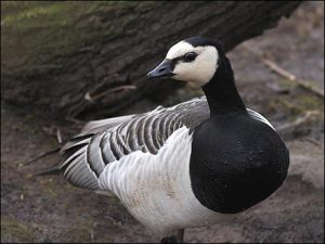 Images of Barnacle Goose