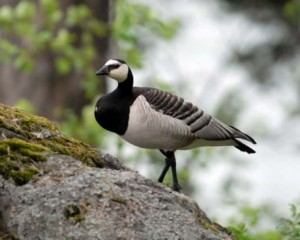 Photos of Barnacle Goose