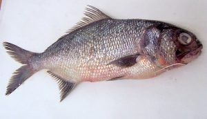 Images of Beard fish