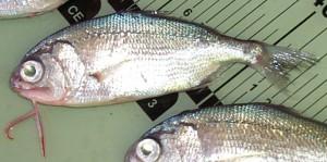 Photos of Beard fish