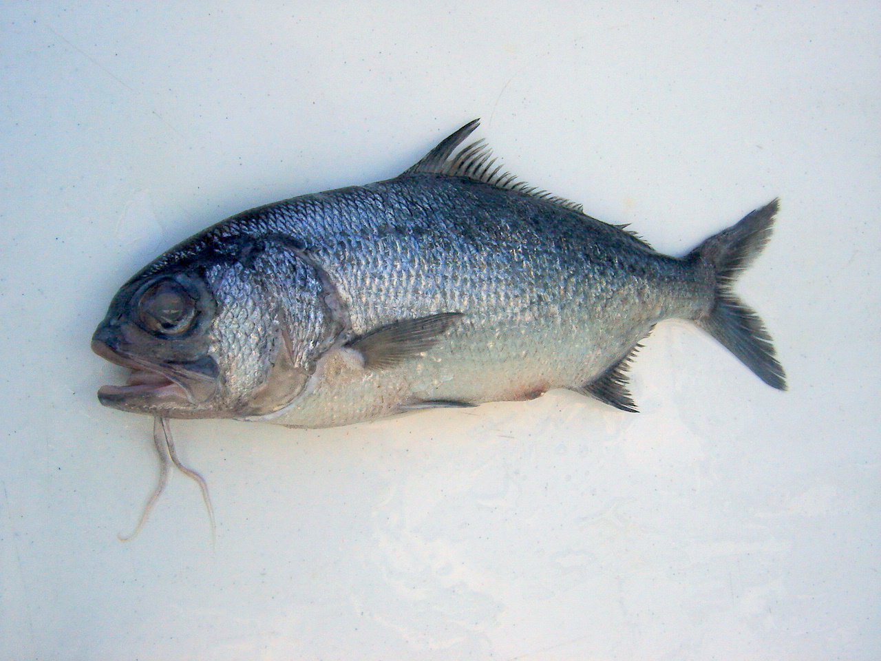 Pictures of Beard fish
