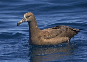 Photos of Black-footed Albatross