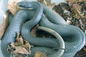 Images of Blue Racer Snake