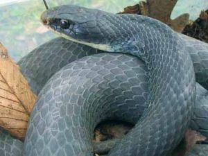Photos of Blue Racer Snake