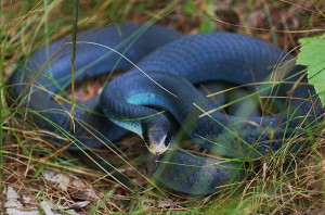 Pictures of Blue Racer Snake