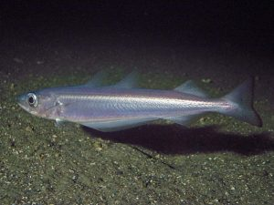 Blue Whiting Picture
