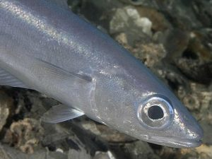 Images of Blue Whiting