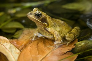 Common Frog Picture