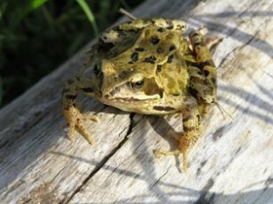 Images of Common Frog