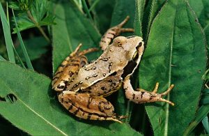 Photos of Common Frog