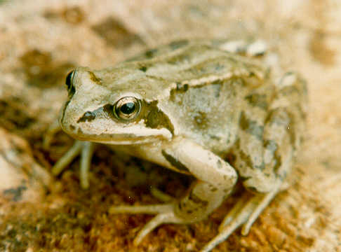 Pictures of Common Frog