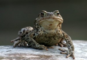 Common Toad Picture