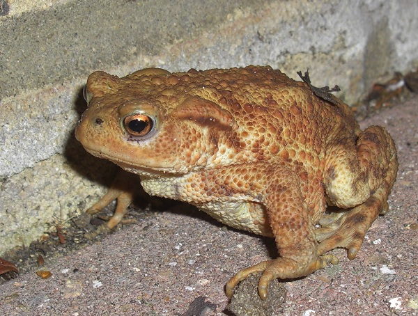 Photos of Common Toad
