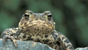 Pictures of Common Toad